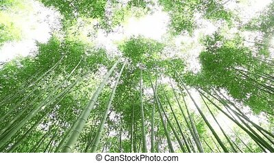 Bamboo forest - landscape of Bamboo forest