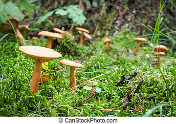 Inedible mushrooms in the mossy forest