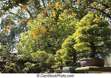 Chinese elm (Ulmus Parvifolia) bonsai in the garden - garden...