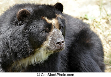 Portrait of Andean bear - Front portrait of andean bear...