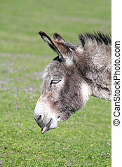 funny donkey puts out a tongue portrait