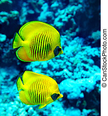 Group of coral fish in water. - Group of coral fish blue...