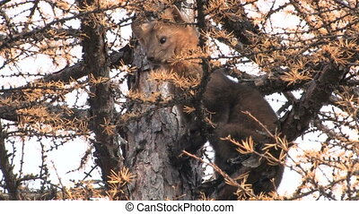 Sable is sitting on a tree. Looking down. Taiga. The Far East. Russia.