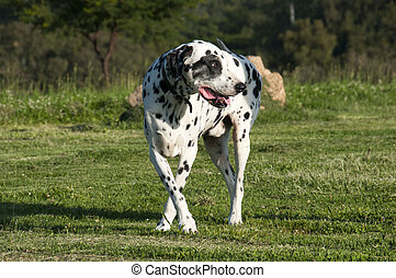 Dalmation Looking Back