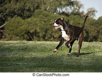 Playful Boxer - Bred in Germany, the Boxer is a breed of...