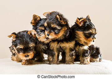 Yorkshire puppy pack isolated on white