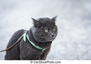portrait of suprised russian blue cat outdoor, in harness...