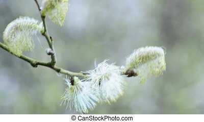 Willow blossom