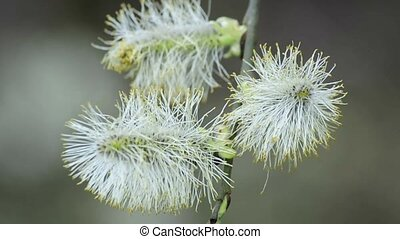 Willow blossom in wind
