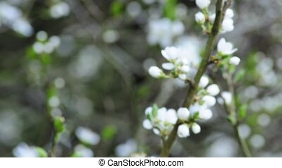 Hawthorn blossom in spring