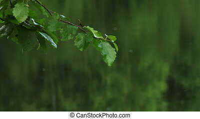 Alder Branch Leaves Green Rain Lake - Lots of green A...