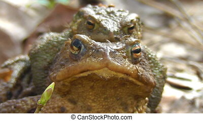 Common Toad - pair - front view