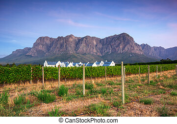 Sunset over a vineyard with Table Mountain in the...