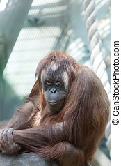 Young female of an orangutan in the zoo open-air cage