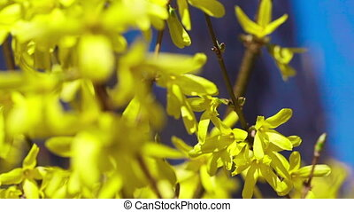 Yellow blooming trees