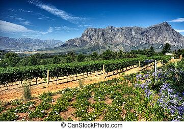 Vineyard in stellenbosch, South Africa - View across...