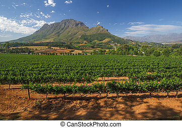 Vineyard in stellenbosch, South Africa - View across...