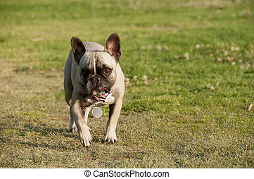 Slight snarl - The French Bulldog is a small breed of...