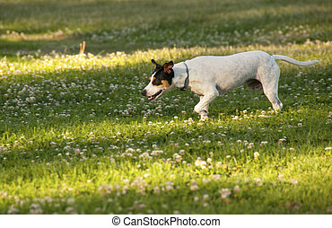 Stalking - Fox Terrier refers primarily to two different...