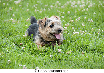 Taking a break - The Norfolk Terrier is a British breed of...