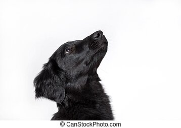 a curious dog - the head of a curious black puppy dog