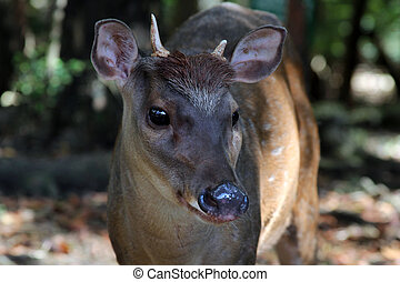 Young deer - Portrait of a young deer. Barbados. Wildlife...