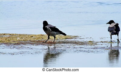 Two Hooded Crow (Corvus cornix) in the water