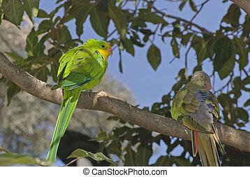 bird - 2 parrots purched on a tree branch