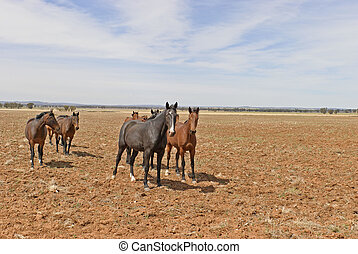 mammal - a mob of horses in a rural paddock with cloudy sky
