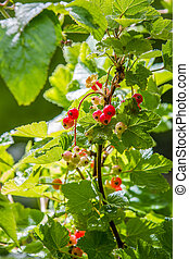 Red currants in the morning
