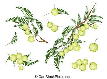 Set of Indian Gooseberry on White Background