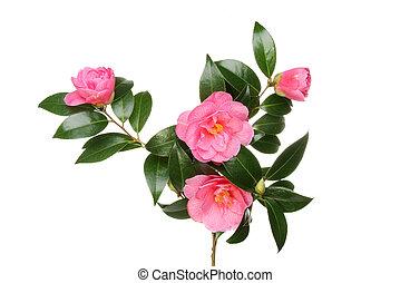 Camellia flowers and foliage - Crimson Camellia Williamsii...