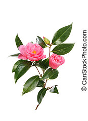 Camellia flowers bud and foliage isolated against white