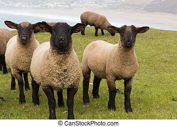 Sheep black legs and faces - Flock of black faced Sheep