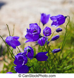 Tiny campanula get mee or bellflowers soft floral background...