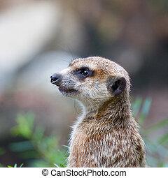 Meerkat / suricata suricatta