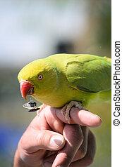 Yellow-crowned, amazonka, papuga, Amazona, ochrocephala,...