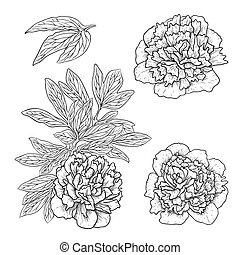 Vector peonies - Vector set of peonies in vintage engraving...