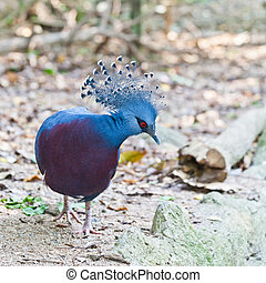 Victoria Crowned Pigeon in a park