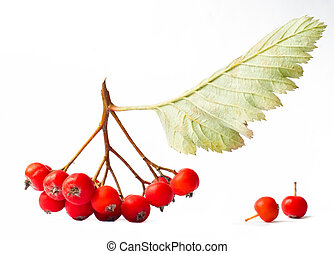 Branch of ashberry isolated on white