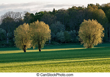 Spring in Sweden - Ash trees in the evening sun at...