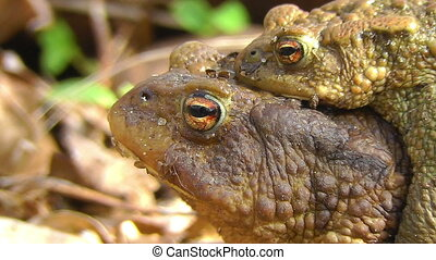 Common Toad - pairing - Toads in mating - females carrying...