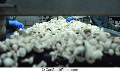 Mushrooms on conveyor
