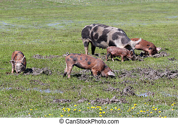pigs in a mud farm scene