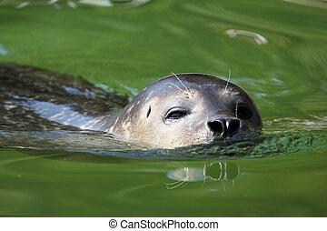 seal swimming nature wildlife scene