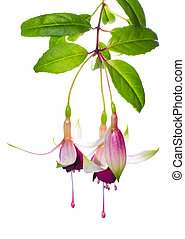 branch fuchsia on white, background