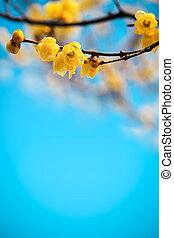 yellow plum blossom in winter with your text