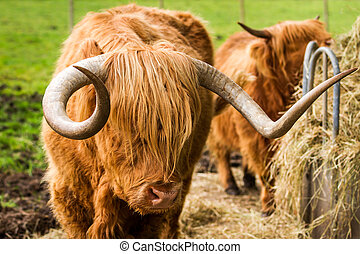 Highland cattle eat hay in the yard