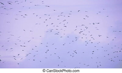 Thousand and One Sea Gulls on Wing - A large flock of gulls...