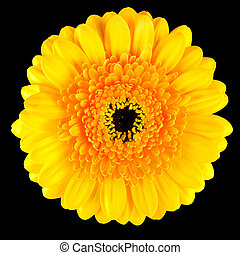 Perfect Yellow Gerbera Flower Macro Isolated on Black